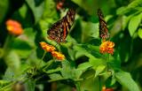 162 Heliconian butterflies.jpg