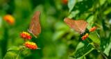 162 Orange Julia Butterflies 1.jpg