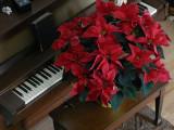 Poinsetta ~ December 20th