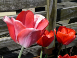 Tulips by the Fence ~ April 27th