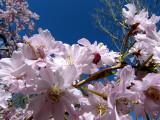 Cherry Blossoms ~ April 28th