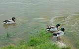 les canards colvert sur la Loire.