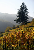 Ribeauvillé vineyard
