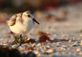 Small Beach Birds