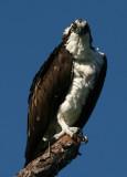 Punk Osprey