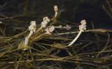 Pondweed family (Potamogetonaceae)