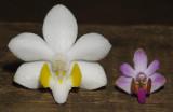 Doritis pulcherima. 2 different clones