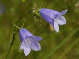 Bellflower family (Campanulaceae)