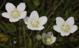 Parnassia palustris. Closer.