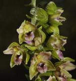 Epipactis helleborine subsp. neerlandica