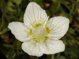 Parnassia palustris. Close-up.