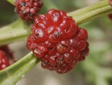 Amaranth family (Amaranthaceae)