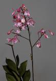 Epidendrum capricornu.