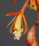 Epidendrum embreei. Close-up.