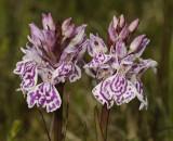 Dactylorhiza maculata subsp. podesta
