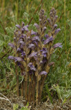 Orobanche purpurea.