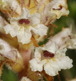 Orobanche picridis. Close-up.