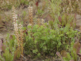 Orobanche minor. And its host Trifolium repens.
