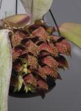 Bulbophyllum phalaenopsis 'Marja'.