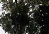 Grammatophyllum speciosum. Giant orchid high up in a tree.