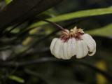 Bulbophyllum auratum. Pale form.