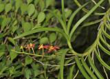Renanthera auyongii