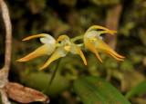 Bulbophyllum triflorum. Close-up.