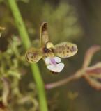 Acriopsis ridleyi. Close-up.