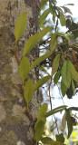 Bulbophyllum affine.