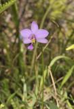 Spathoglottis plicata.