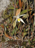 Epigeneium longipes