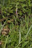 Spiranthes sinensis.