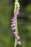 Spiranthes sinensis. Close-up.