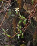 Dendrobium kinabaluense