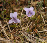 A plant of Marshes and bogs. Flowers pale lilac with dark veins, (Viola palustris)