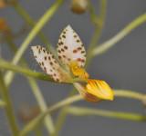 Ponthieva maculata. Close-up.