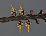 Bulbophyllum maximum.