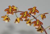 Eriopsis biloba.