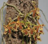 Paraphalaenopsis labukensis.