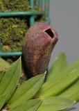 Phloeophila pubescens. Close-up.