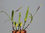 Bulbophyllum cochleatum var. bequaertii.