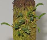 Bulbophyllum inconspicuum.