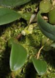 Bulbophyllum inconspicuum. Closer.