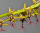 Bulbophyllum saltatorium var.? Closer up.