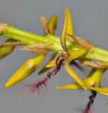 Bulbophyllum saltatorium var.? Close-up side.