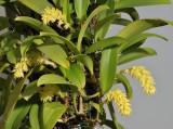 Bulbophyllum spec. Bundi PNG.