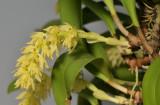 Bulbophyllum spec. Bundi PNG. Closer.
