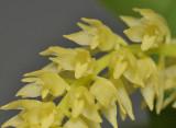 Bulbophyllum spec. Bundi PNG. Close-up.