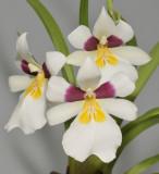 Miltoniopsis roezlii. Close-up.