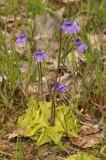 Butterwort family (Lentibulariaceae)